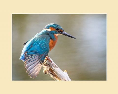Wing Stretch Kingfisher Print